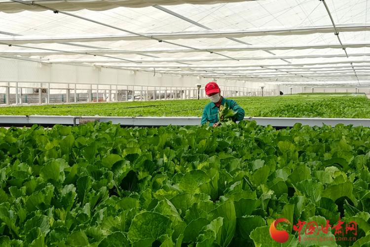 【中国的脱贫智慧】兰州新区现代农业助力高质量脱贫奔小康