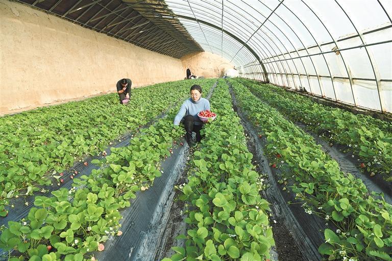 临夏市折桥镇大庄村一颗颗鲜嫩多汁的草莓已经成熟