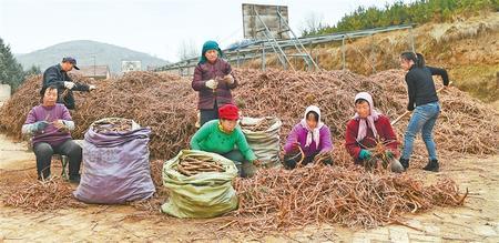 中药材产业助农增收致富