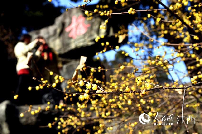 寒冬里,腊梅盛开,摄影爱好者们来到太阳谷拍摄。(人民网 时雨 摄)