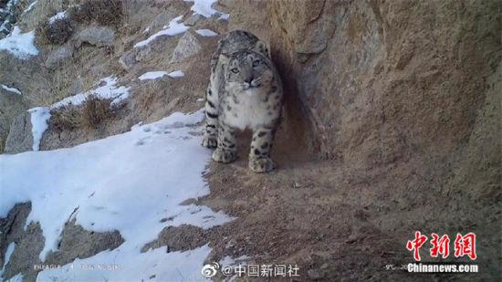 精灵漫步!甘肃阿克塞祁连山深处现雪豹身影