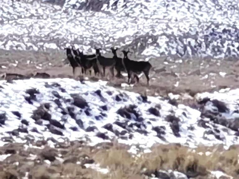 国家一级保护动物白唇鹿现身小红泉公益林管护区