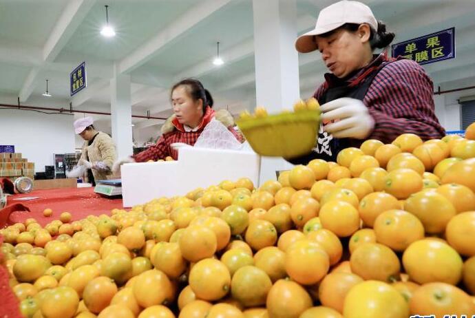 广西融安:包装发运金桔供应春节市场
