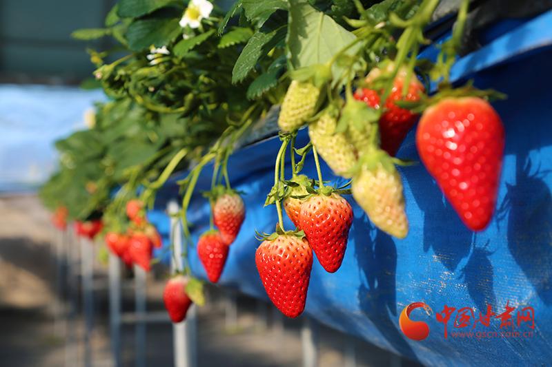 """山丹:冬日里的""""莓""""好时光"""