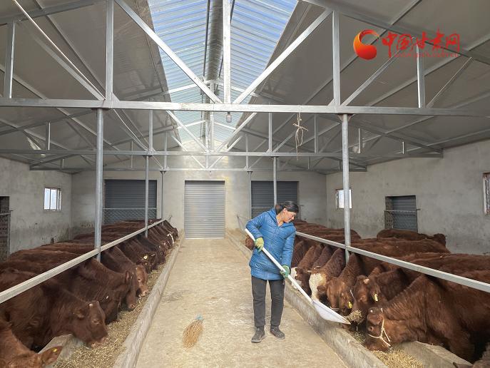 灵台:牛产业拓宽致富路