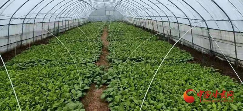 """【新春走基层】灵台:蔬菜大棚成为群众增收致富的""""聚宝盆"""""""