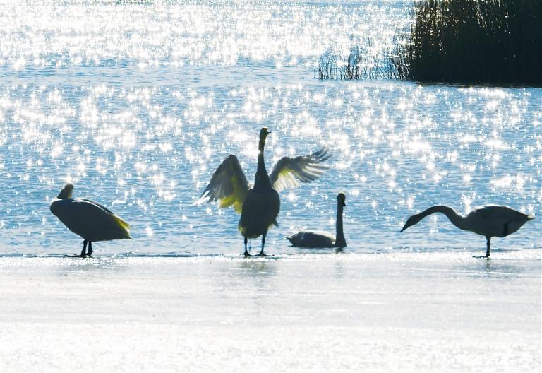 临夏州永靖县盐锅峡镇境内的黄河八盘峡水库成为天鹅等候鸟越冬的乐园