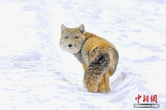 镜头感强!甘肃阿克塞县境内首次拍摄到藏狐
