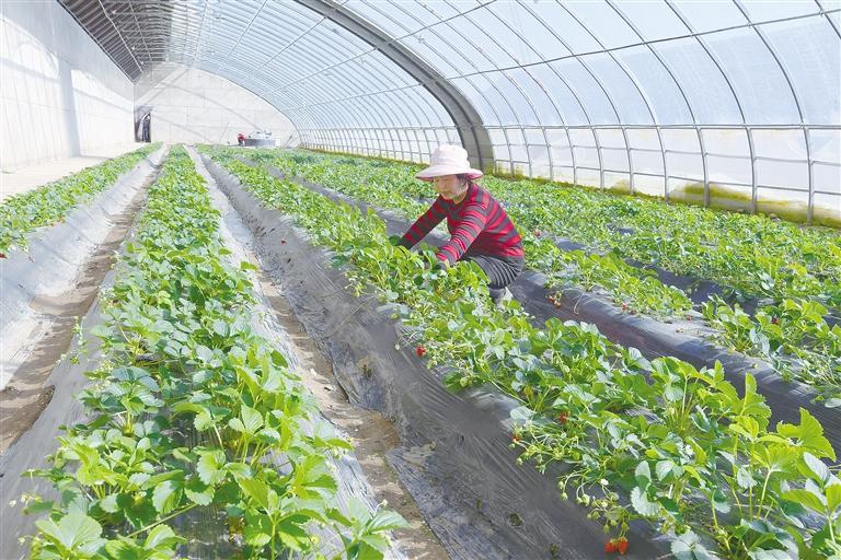临夏县农民在温室大棚里开展农业生产