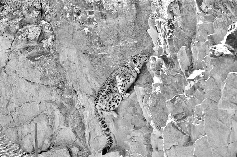首例!肃北盐池湾保护区一只雪豹被戴上定位项圈
