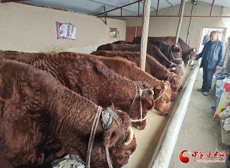 """平凉泾川:""""牛""""产业铺就致富路"""