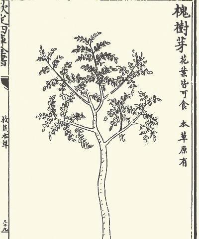 在古代最受青睐的树种