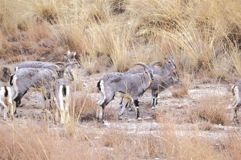 玉门市南山自然保护区出现岩羊种群