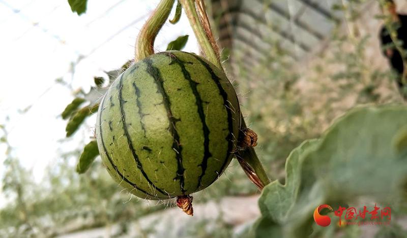 瓜州:温室大棚再添新品种蜜瓜