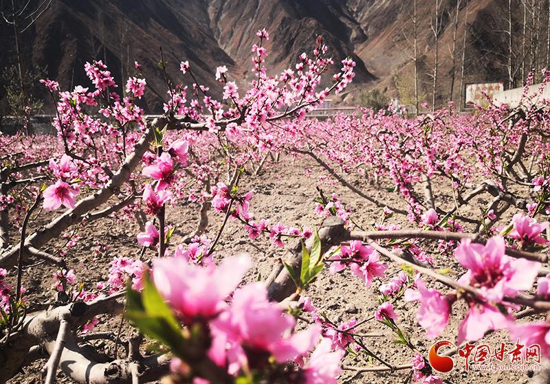 甘肃文县:人间三月芳菲始 踏青赏花正当时