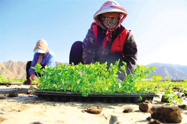 春来好时节 田间耕作勤 榆中县高原夏菜开种 今年计划种植35万亩