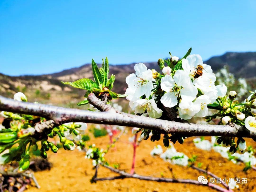 樱花盛开,小川西狭等您来踏青、赏花!