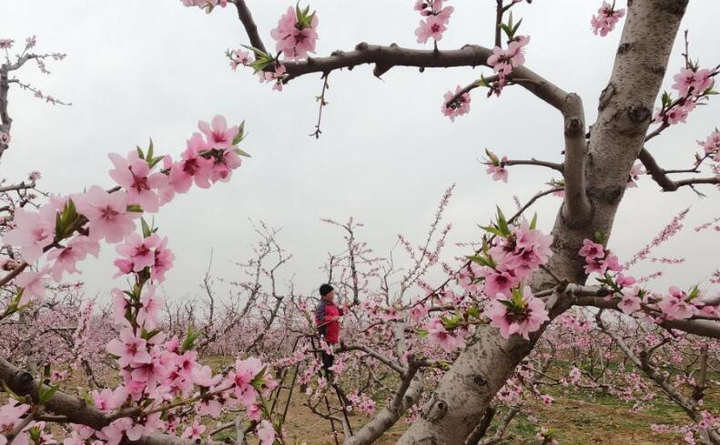 河北顺平:桃花艳 果农忙