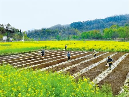 陇南康县大南峪镇花庙村村民正在培育水稻秧苗