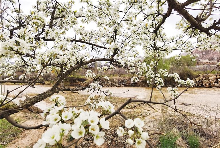 庄浪河畔 梨花润春