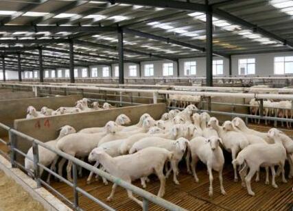 """宁县:""""窑洞养羊""""走上""""羊""""光大道"""