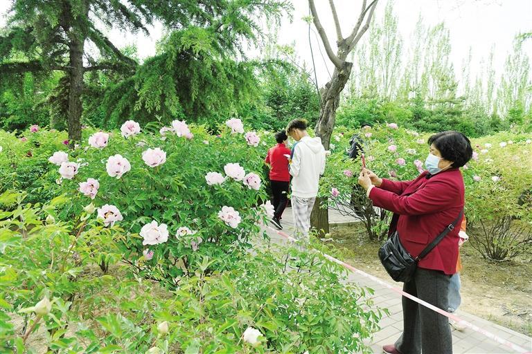 临夏市北滨河路60里牡丹长廊里不同品种、颜色各异的牡丹花争奇斗艳
