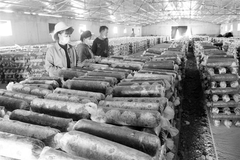 张掖:食用菌产业崛地而起