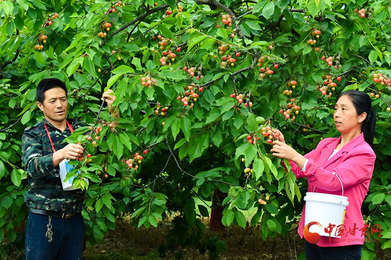 成县:樱桃成群众致富果