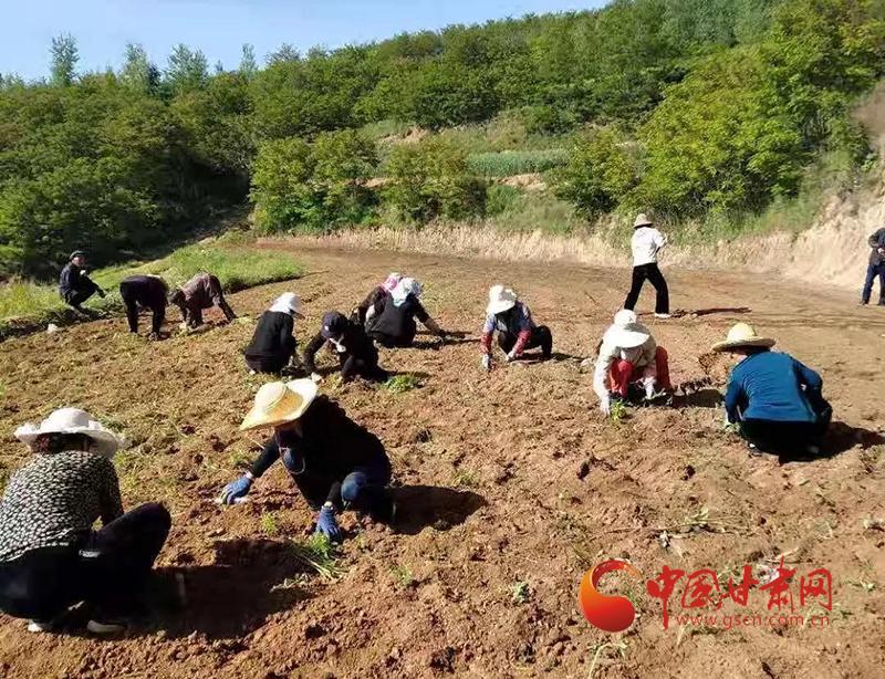 西和县姜席镇:移栽万寿菊 铺就致富路