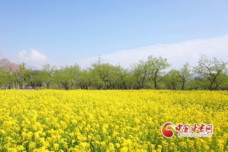 【陇拍客】临夏永靖:油菜花开 遍地金黄好风光