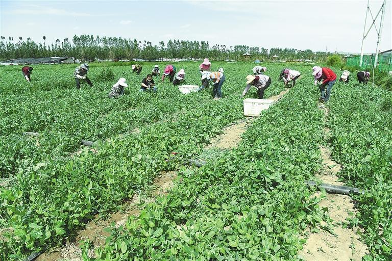 临夏县百益现代农业公司种植的500多亩豌豆苗、甜豆等进入丰产期