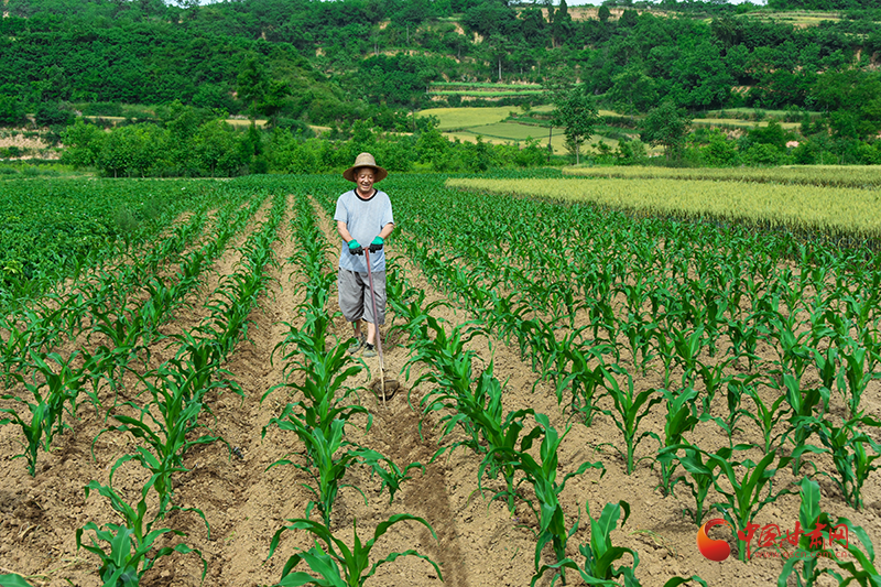 徽县:加强田间管理确保农作物长势良好