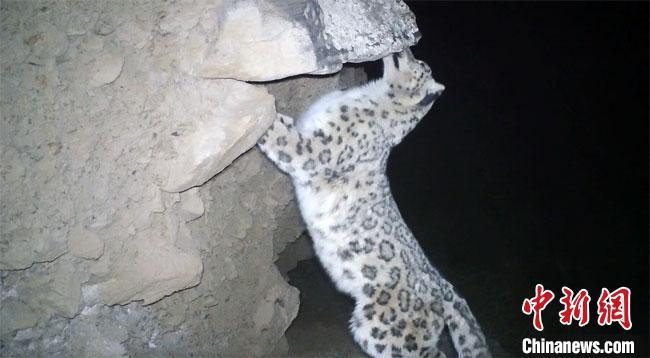 甘肃阿克塞一车流密集国道周边首现雪豹活动踪迹