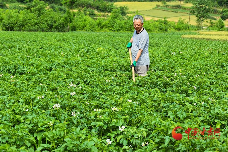 徽县: 加强田间管理确保马铃薯增产丰收