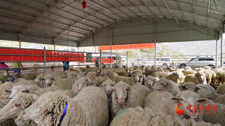 """肃南:""""羊""""帆起航小康路 推进畜牧业高质量发展"""