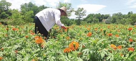 陇南西和县大桥镇仇池村的万寿菊种植基地