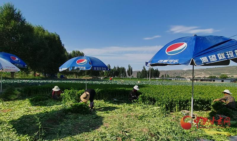 定西香泉镇:高原夏菜喜获丰收