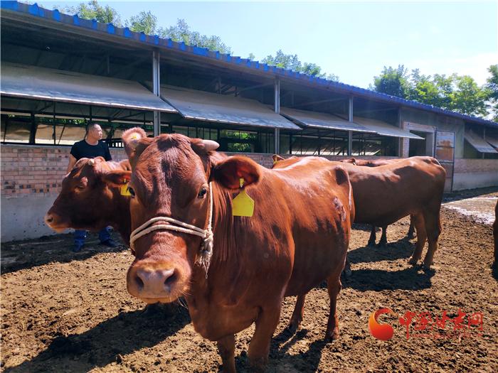泾川县税务局:税收服务促进产业发展 助力平凉红牛更牛