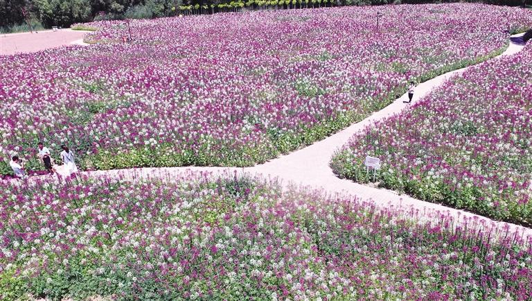 临夏州永靖县刘家峡镇黄河岸边各类花卉竞相绽放