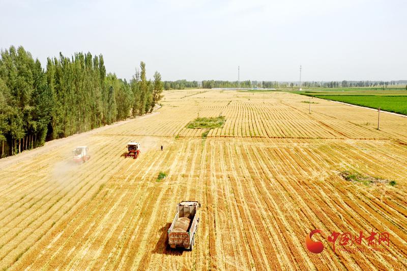 【小康圆梦·看甘肃】临泽新华镇:富锶黑小麦喜获丰收