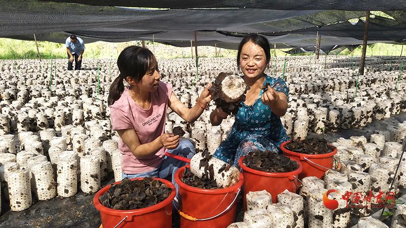 【小康圆梦·看甘肃】宕昌何家堡乡:露天木耳喜丰收 甜到农民心里头