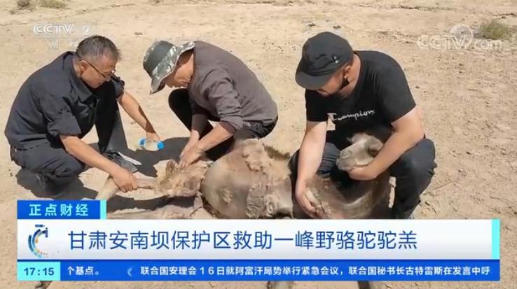 甘肃安南坝保护区救助一峰野骆驼驼羔