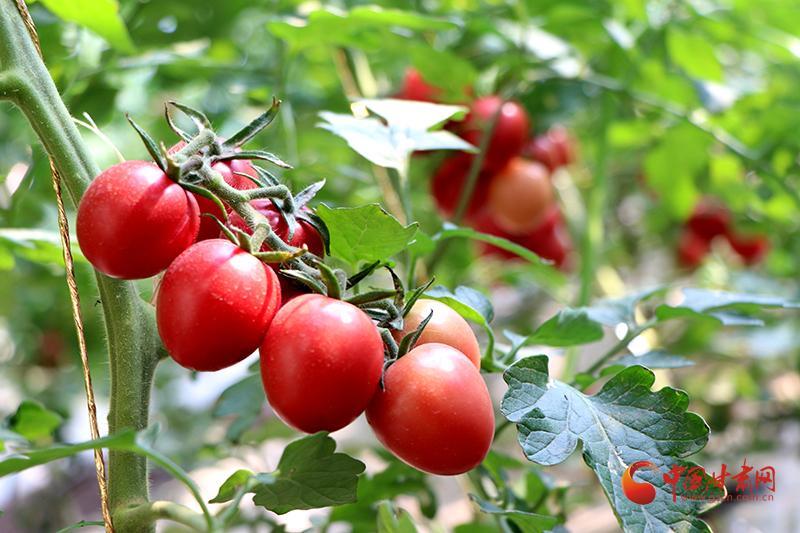 """民勤:""""水果西红柿""""长势喜人 销售走俏"""