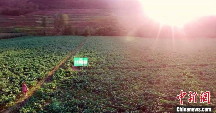 图为由甘肃兆丰农业开发责任有限公司带动徽县当地种植的大豆基地。(资料图) 王琴供图