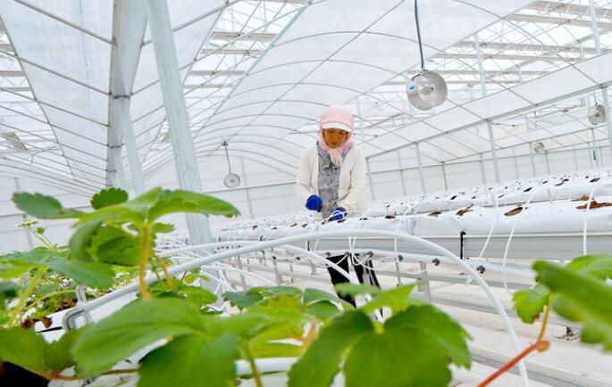 【陇拍客】张掖甘州:秋日草莓种植忙