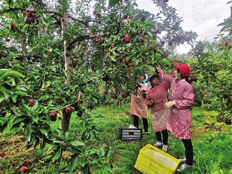 天水花牛苹果要红遍全国