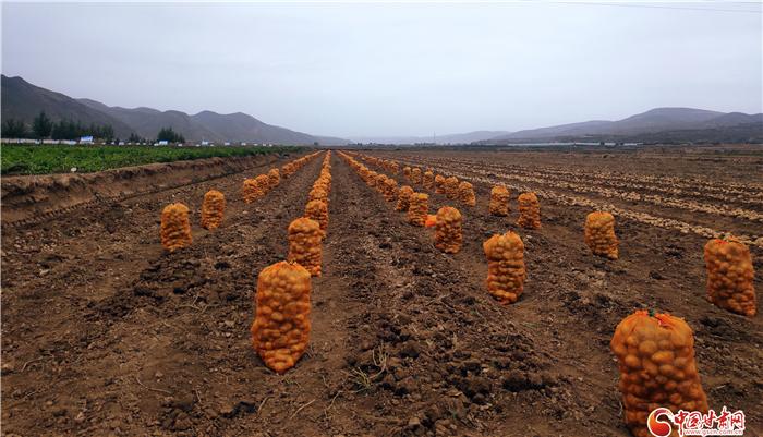 薯都定西迎来新机遇 产业薯带富一方百姓成共识