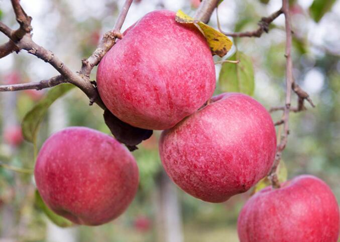 小苹果成就致富大产业