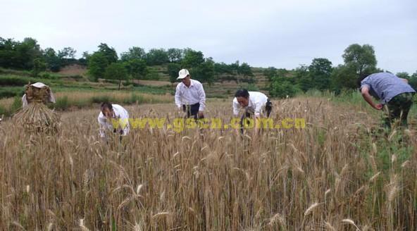 石鼓镇干部帮农民收割麦子 现在机械收割早已普及,可一些山区农民种在坡地上的小麦,收割机却无能为力。渭滨区石鼓镇干部了解到这一情况后,利用周末上山帮农民收割,用他们的话说,就是当了一回麦客。 6月 7日,记者来到石鼓镇甘沟村,老远就看见一处山坡上有六、七个人正在忙着割麦,走近才发现全是镇干部。  宽556x366高  显示比例:100%