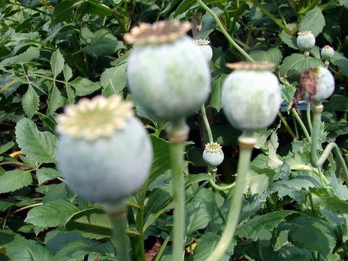 罂粟种植_罂粟种植多少违法_罂粟种植时间图片